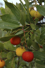 Arbousier / Hippophae rhamnoides / Fruits