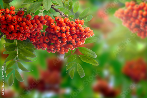 Branch with the berries of wild ash. Isolated