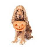 red-haired spaniel holds jack-o-lantern