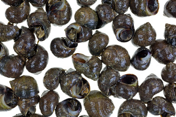 Live periwinkles on a white background