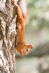 red squirrel portrait on natural background