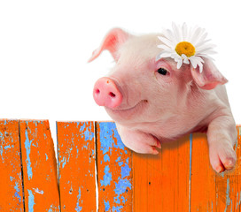 Piglet leaning on the fence. Bright, a comic collage