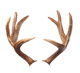 Elk antlers. Isolated on white