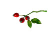 Rose-hips berry and leaves, on white