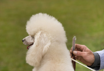 Groomer combing poodle before dog show