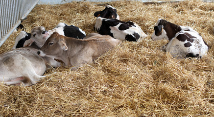 calf in the straw in the stable