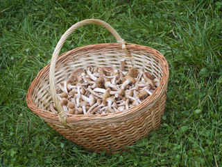 Mushrooms honey agarics (Armillariella mellea) in basket