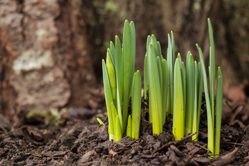 Sprouting Snow drops before bloom