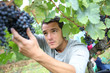 Man in vineyard picking grapes