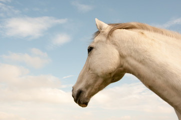 Portrait of a grey horse