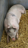A Large Pig Laying on Straw in a Metal Pen.
