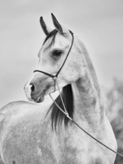 portrait of young arabian mare