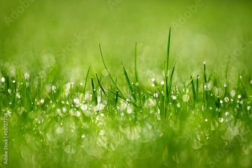 Gras am Morgen - Fototapete