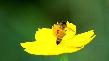 Bee Pollinates Flower