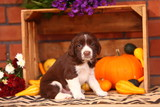 Springer Spaniel Puppy Sitting in Autumn Arrangement
