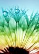 dewy dandelion - 56731990