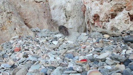 Wild rat looking for and finding their own food.