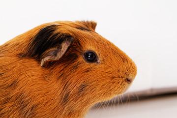 guinea pig eye close-up (macro)