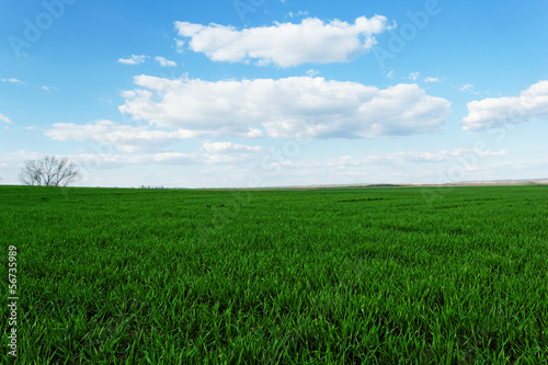 wheat field under the blue cloudy sky