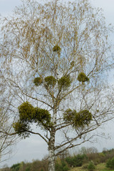 mistletoe on the tree