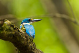 Backside of Collared Kingfisher (Todiramphus chloris) in nature