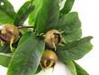 Mispelzweige mit Früchten