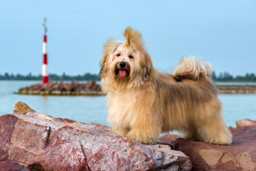 Cute Havanese dog is standing in a harbor,  looking at camera