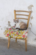 Domestic cat on chair.