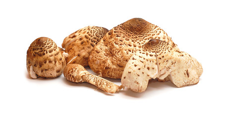 lepiota procera, parasol mushroom