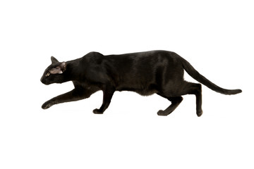 oriental black cat isolated over white background