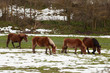 Horses in the fields covered by the snow