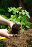 Plant de tomate bio