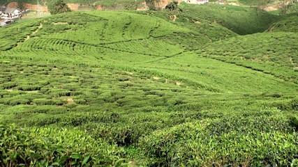 Tea Plantations in the Sri Lankan highlands