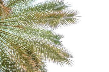 Hojas de palmera aisladas