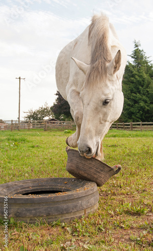 Horse moving his bucket to get every morsel