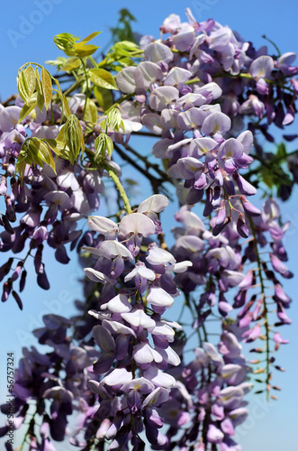 bright purple flowers of wisteria