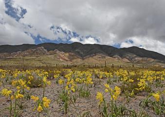 Aprés la pluie dans le désert d'Atacama