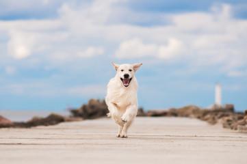 happy golden retriever dog running outside