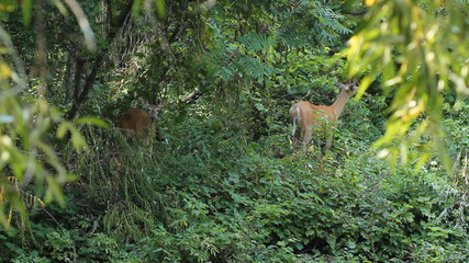 Two deer feeding in the forest.