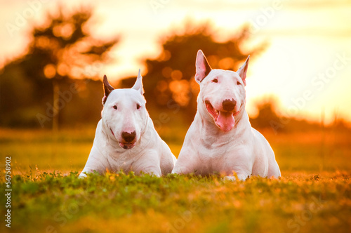 two english bull terrier dogs at sunset