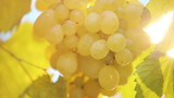 Bunch of ripen grapes - HD video clip