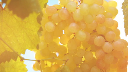 Cluster of ripe grapes - HD video clip