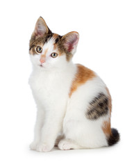 Cute calico kitten on a white background.