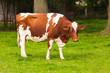 Cows on meadow. Grazing calves