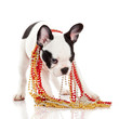 Adorable  French Bulldog  wearing  jewelery on white background.