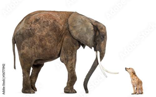 African elephant and Chihuahua looking at each other, isolated