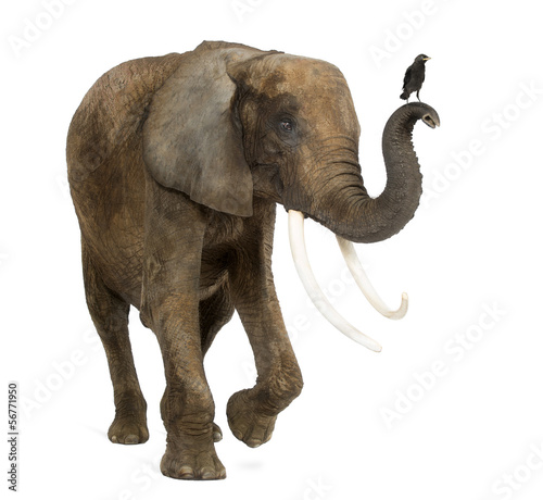 Standing African elephant with a Jackdaw on the trunk, isolated