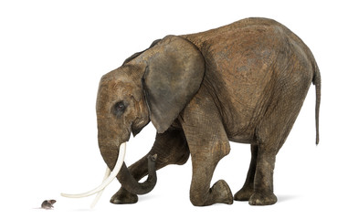 African elephant kneeling in front of a mouse, isolated on white