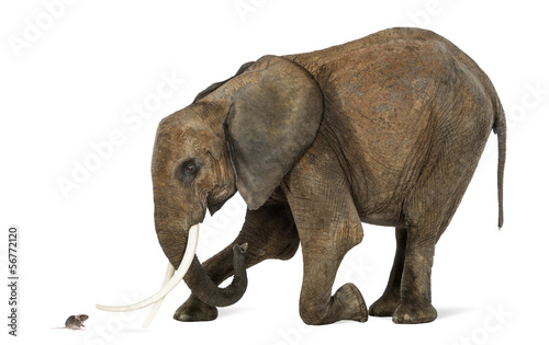 Tuinposter Olifant African elephant kneeling in front of a mouse, isolated on white