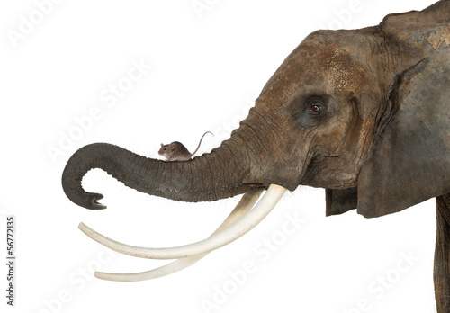 Close-up of a mouse standing on an elephant's trunk, isolated